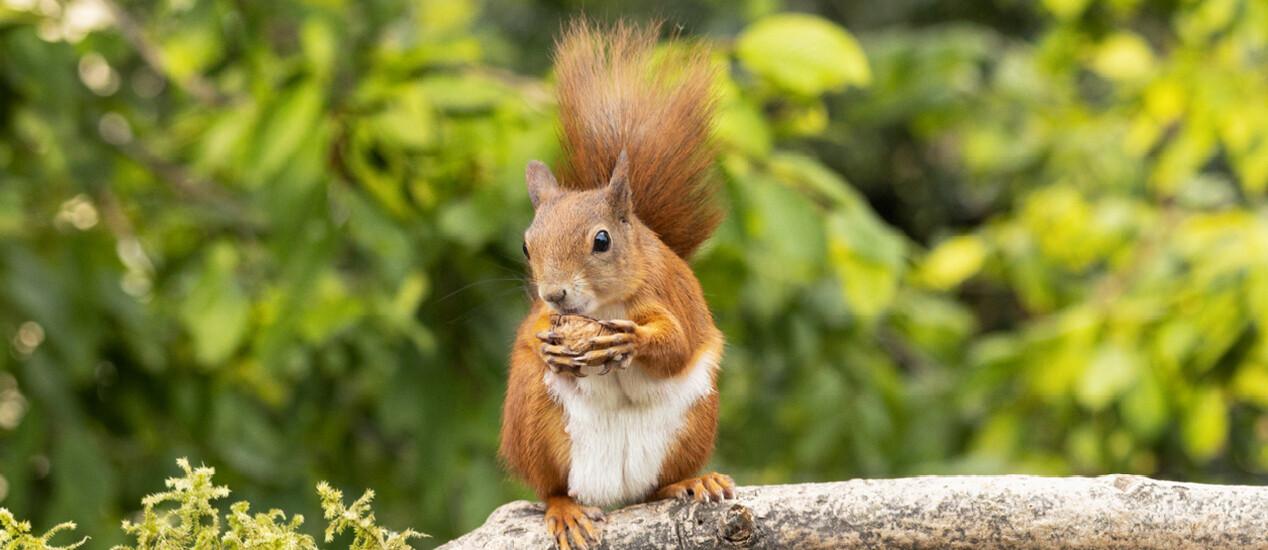 Das Fell des Eichhörnchens