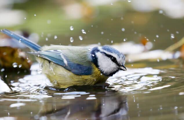 Badespass für Gartenvögel